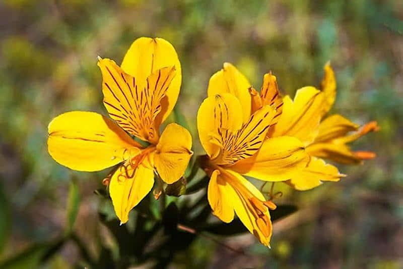 Amancay, la leyenda Mapuche de una flor amarilla